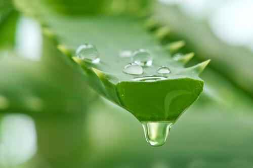 Thuốc tránh thai an toàn từ nha đam và cây thiên lôi