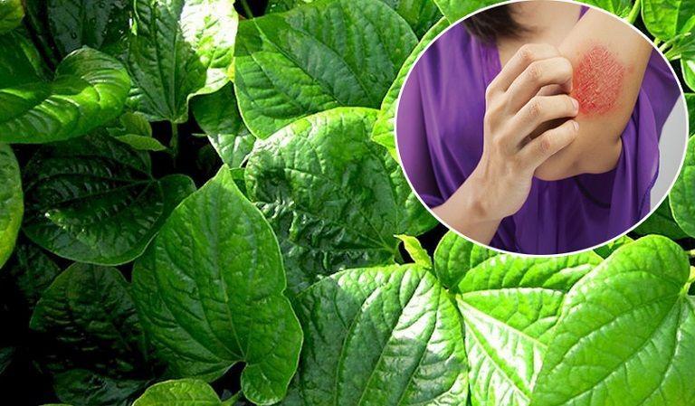 Lá lốt là một vị thuốc hay có khả năng chữa trị viêm da cơ địa