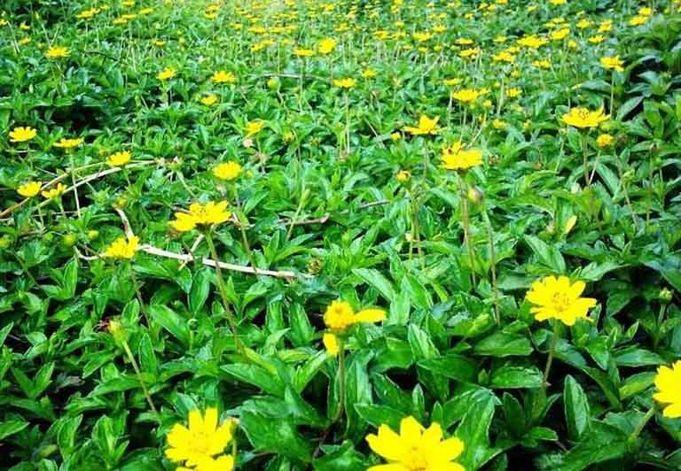 Cây sài đất mọc nhiều nên rất dễ kiếm và dùng làm thuốc trị bệnh