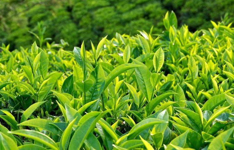 Trà xanh trị viêm da tốt nhờ hàm lượng polyphenol dồi dào