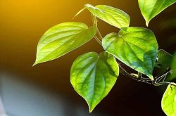 Sử dụng lá trầu không chữa mề đay hiệu quả