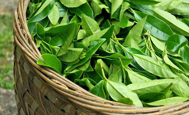 Nổi mề đay tắm lá gì? Phương pháp giải nhiệt với lá chè xanh