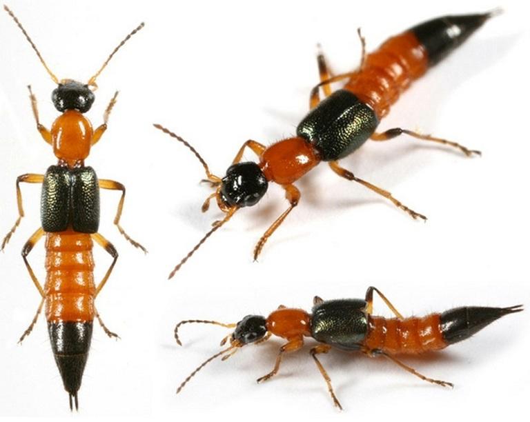 Kiến ba khoang là côn trùng có độc tốt cực mạnh