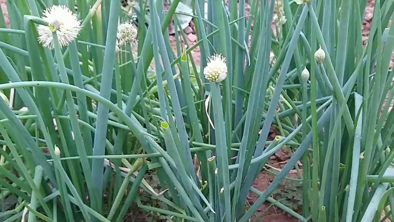 Tinh chất trong lá hành hoa có khả năng cải thiện triệu chứng viêm da