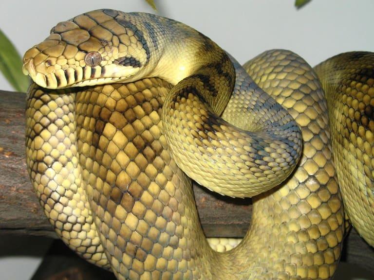 Trăn là loài động ậy bò sát, có họ hàng với loài rắn