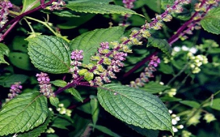Cây hương nhu là cây thuốc trị nấm da đầu hiệu quả