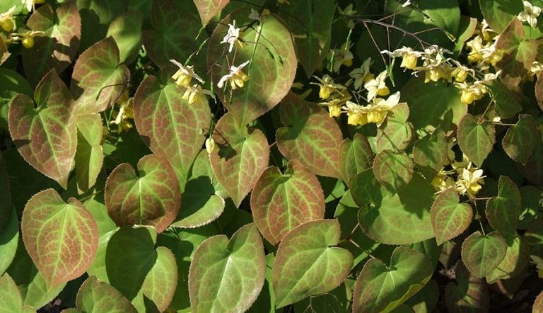 Dựa vào hình thái lá có thể phân loại dâm dương hoắc