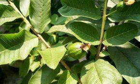 Lá ổi có chứa nhiều thành phần giúp kháng viêm, thải độc