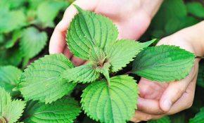 Lá tía tô có chứa nhiều tinh chất giúp kháng viêm và diệt khuẩn hiệu quả