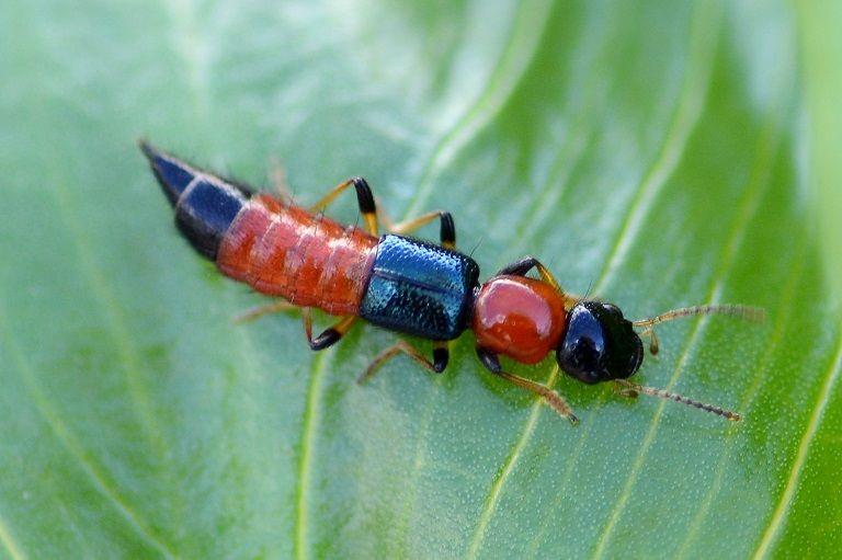 Bệnh này chủ yếu do loài côn trùng có tên Paederus gây ra