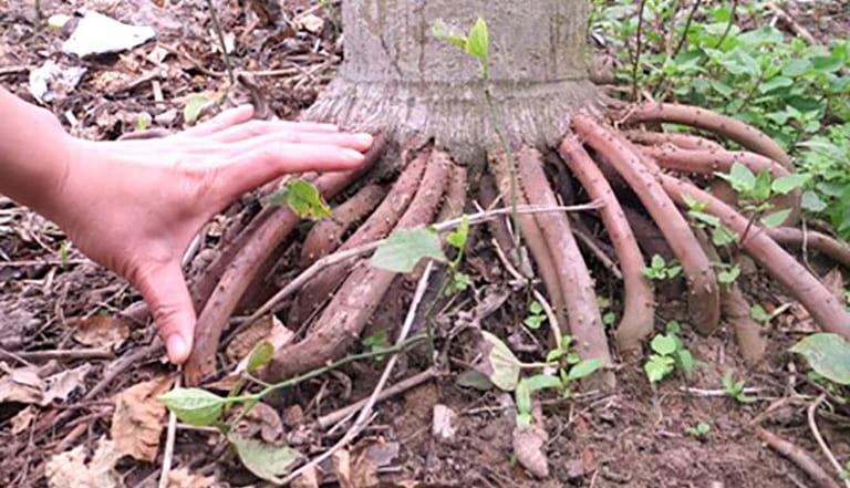 Chỉ sử dụng phần rễ cau nổi trên mặt đất mới có công dụng điều trị tốt