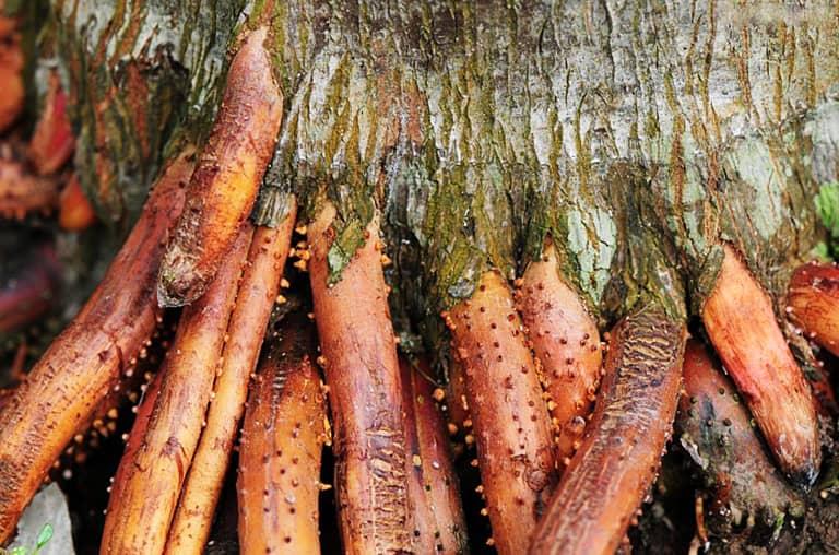Rễ cau chữa liệt dương là bài thuốc dân gian được nhiều người sử dụng