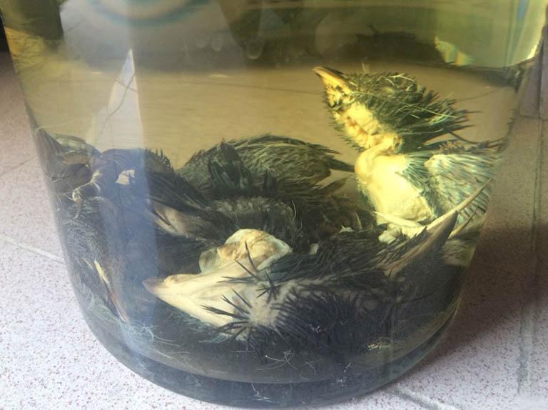 Rượu thuốc chữa xuất tinh sớm từ chim bìm bịp