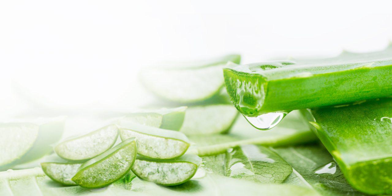 Nha đam giúp giữ ẩm, tái tạo tế bào hư tổn