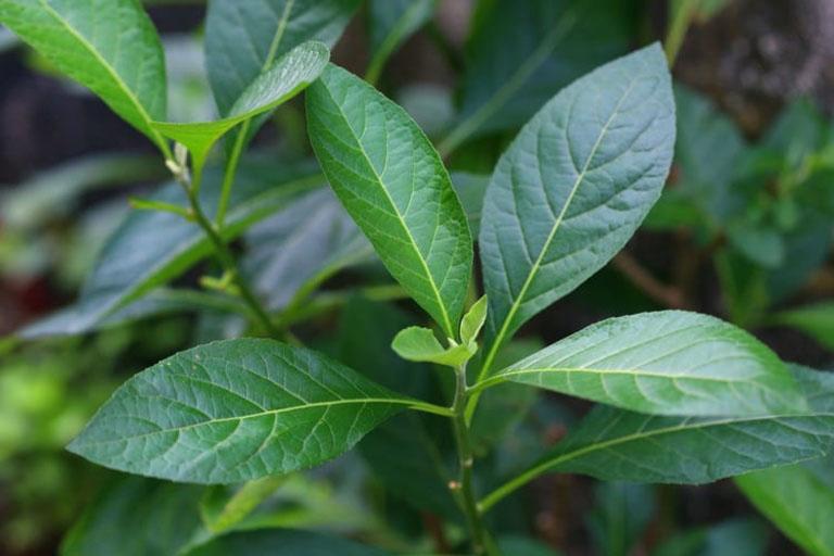 Bài thuốc dân gian với lá mật gấu