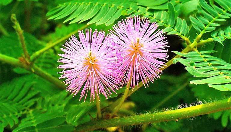 Cây xấu hổ - cây thuốc Nam chữa thoái hóa khớp gối