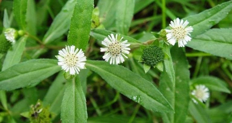 Cây cỏ mực thường được sử dụng trong điều trị bệnh suy thận
