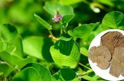 Kim tiền thảo dược dùng nhiều trong cá bài thuốc chữa bệnh thận