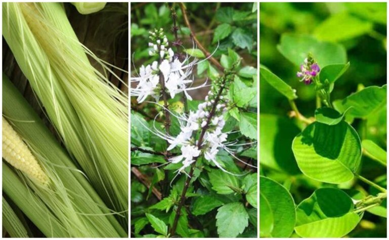 Kết hợp 3 loại thảo dược tự nhiên là cách chữa sỏi bàng quang dân gian hiệu quả sâu nhất